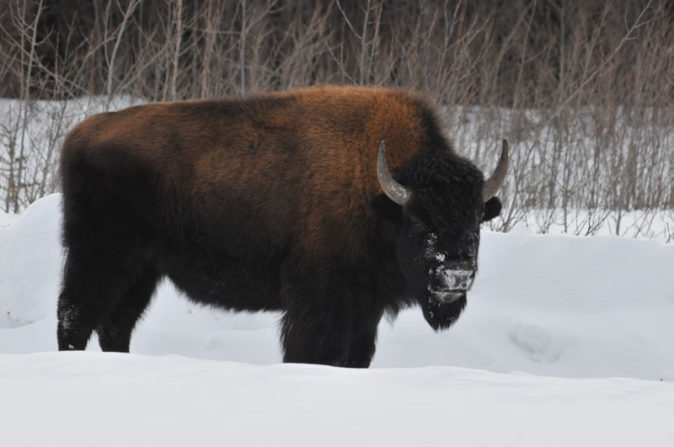 American Bison in the snow